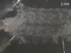 Drosophila Larven NMJ Dissection thumbnail