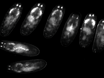 The Preparation of <em>Drosophila</em> Embryos for Live-Imaging Using the Hanging Drop Protocol thumbnail