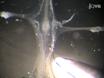 <em>Cancer Borealis</em> Stomatogastric Nervous System Dissection thumbnail