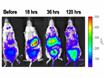 규아 샤 프로 시저에 헴 Oxygenase - 1 Upregulation의 Bioluminescence 이미징 thumbnail