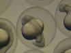 Making Gynogenetic Diploid Zebrafish by Early Pressure thumbnail