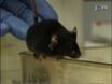 A simple fenotipo compuesto el sistema de puntaje para la evaluación de modelos de ratón de Ataxia cerebelosa thumbnail