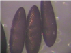 Microinjection of A. aegypti Embryos to Obtain Transgenic Mosquitoes thumbnail