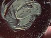 Primary Cell Cultures from <em>Drosophila</em> Gastrula Embryos thumbnail