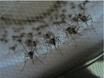 Protocol for Mosquito Rearing (A. gambiae) thumbnail