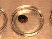 Acute Myocardial Infarction in Rats thumbnail