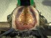 Alta densidad de registros de EEG de los ratones se mueven libremente con poliamida basado microelectrodos thumbnail