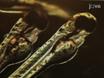 Immunocolorazione di Dissected Cuore Zebrafish embrionali thumbnail