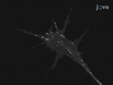 Culture Explant neurali di<em&gt; Xenopus laevis</em thumbnail