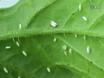 Transmitting Plant Viruses Using Whiteflies thumbnail