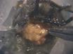 זיהוי נדיפים חוש ריח באמצעות קלטות כרומטוגרפיה-Multi-יחידת גז (GCMR) באונת מחושי החרקים thumbnail