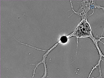 Measurement of Tension Release During Laser Induced Axon Lesion to Evaluate Axonal Adhesion to the Substrate at Piconewton and Millisecond Resolution thumbnail
