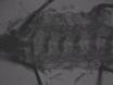 Optogenetic Perturbation of Neural Activity with Laser Illumination in Semi-intact <em>Drosophila</em> Larvae in Motion thumbnail