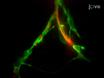 Motor Nerve transezione e Time-lapse imaging di gliali comportamenti delle cellule in vivo Zebrafish thumbnail