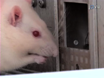 Meal Duration as a Measure of Orofacial Nociceptive Responses in Rodents thumbnail