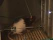 פרוצדורה כדי לחקור את ההשפעה של הגבלת מזון ממושכת בהרואין מחפש אצל חולדות מתנזרות thumbnail