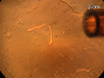 Assessment of Calcium Sparks in Intact Skeletal Muscle Fibers thumbnail