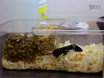 Nest Building as an Indicator of Health and Welfare in Laboratory Mice thumbnail