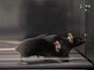 Assessing Functional Performance in the <em>Mdx</em> Mouse Model thumbnail
