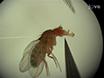 电生理记录从<em&gt;果蝇</em&gt; Labellar味感器 thumbnail