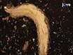 Dissection and Immunostaining of Imaginal Discs from <em>Drosophila melanogaster</em> thumbnail