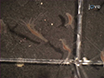 Transgenik Üretimi<em&gt; Hydra</em&gt;: Mikroenjeksiyon yolu ile embriyo thumbnail