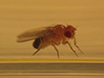 Acquisition of High-Quality Digital Video of <em>Drosophila</em> Larval and Adult Behaviors from a Lateral Perspective thumbnail