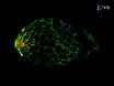 Modeling Mucosal Candidiasis in Larval Zebrafish by Swimbladder Injection thumbnail