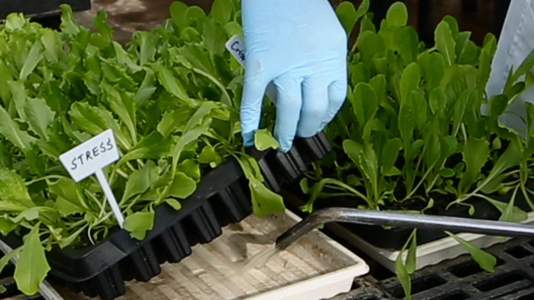 Semi-High Throughput Screening for Potential Drought-tolerance in Lettuce (<em>Lactuca sativa</em>) Germplasm Collections