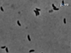 Synchronization of <em>Caulobacter Crescentus</em> for Investigation of the Bacterial Cell Cycle thumbnail