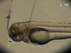 Non-invasive Imaging of the Innate Immune Response in a Zebrafish Larval Model of <em>Streptococcus iniae</em> Infection thumbnail