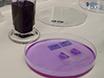 Detectie van Axonally Gelokaliseerde mRNA in Brain secties met behulp van High-Resolution<em&gt; In Situ</em&gt; Hybridisatie thumbnail