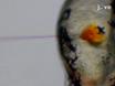 Dechifrere og Imaging Patogenese og Cording af<em&gt; Mycobacterium abscessus</em&gt; I zebrafisk embryoner thumbnail