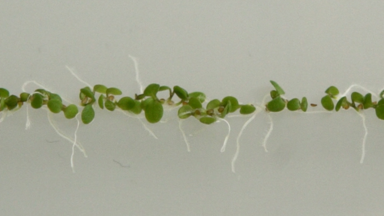 Lateral Root Inducible System in <em>Arabidopsis</em> and Maize