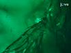 En Beteende Analys för Mechanosensation av MARCM baserade Kloner i<em&gt; Drosophila melanogaster</em thumbnail
