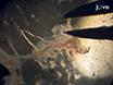 単離および脳実質細動脈のカニューレ挿入 thumbnail
