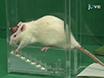 Un nuevo enfoque para evaluar el resultado de motor de Estimulación Cerebral Profunda Efectos en la rata hemiparkinsonianas: Escalera y cilindro de prueba thumbnail