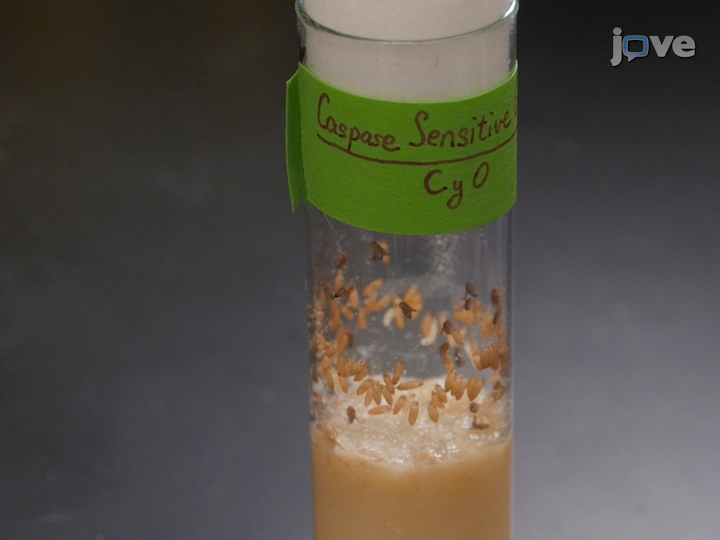 <em>In Vivo</em> Biosensor Tracks Icke-apoptotiska kaspasaktivitet i <em>Drosophila</em> thumbnail