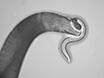 Assaying Predatory Feeding Behaviors in <em>Pristionchus</em> and Other Nematodes thumbnail