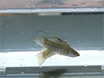 Assays to Detect UV-reflecting Structures and Determine their Importance in Mate Preference using the Sailfin Molly <em>Poecilia latipinna</em> thumbnail