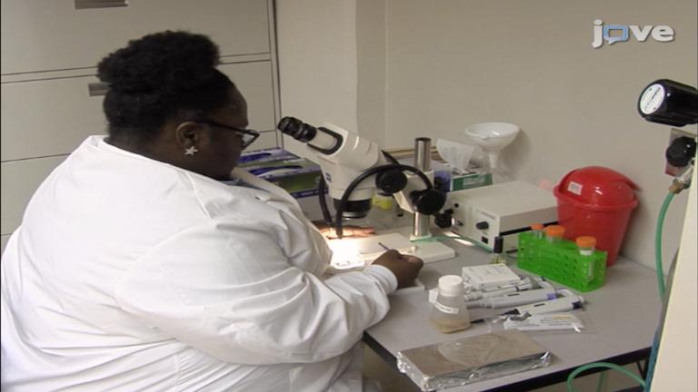 Het bestuderen van mitochondriale structuur en functie in<em> Drosophila</em> Eierstokken thumbnail