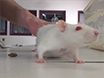 A Model of Free Tissue Transfer: The Rat Epigastric Free Flap thumbnail
