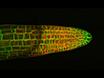 长期共焦成像根和下胚轴发育的简单室 thumbnail
