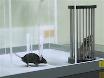 Pentylenetetrazole-Induced Kindling Mouse Model thumbnail