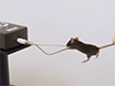 A Simple and Low-cost Assay for Measuring Ambulation in Mouse Models of Muscular Dystrophy thumbnail