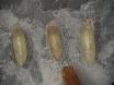 <em>生体内で</em><em>ショウジョウバエ</em>の蛹の筋腱の形態形成の観察 thumbnail