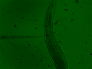 Расширение редактирования с Cas9 рибонуклеопротеида в различных клеток и организмов геном thumbnail