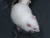 En rotte modell av sentral Fatigue bruker en modifisert flere plattform-metoden thumbnail