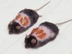 <em>I Vivo</em> Avbildning av reaktive oksygen arter i et murint sår modell thumbnail