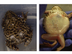 Reproductive Techniques for Ovarian Monitoring and Control in Amphibians thumbnail